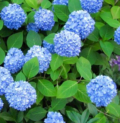 """Гортензія крупнолиста """"Нікко Блу"""" Hydrangea macrophylla """"Nikko Blue"""""""