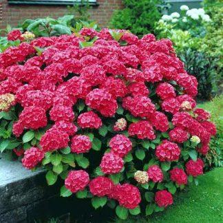 Гортензія крупнолиста Ред Барон  Hydrangea macrophylla 'Red Baron'