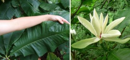 Магнолія трепелюсткова  Magnolia tripetala