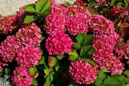 "Гортензія крупнолиста ""Альпенглюхен"" Hydrangea macrophylla ""Alpengluhen"""