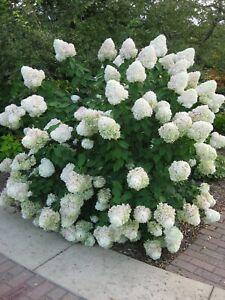 Гортензія метельчата Сільвер Долар  Hydrangea paniculata Silver Dollar