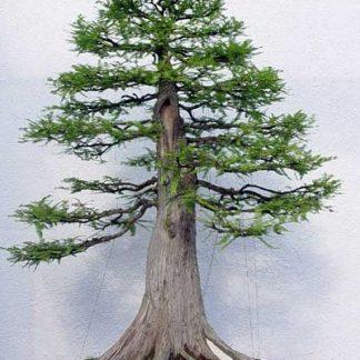Таксодіум мексиканський Taxodium mucronatum