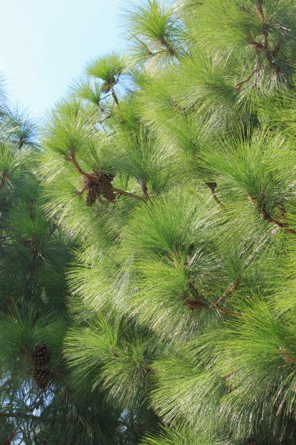 Сосна  Роксбурга Pinus roxburghii