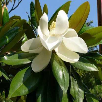 НОВИНКА! Магнолия крупноцветковая Magnolia grandiflora 25 грамм