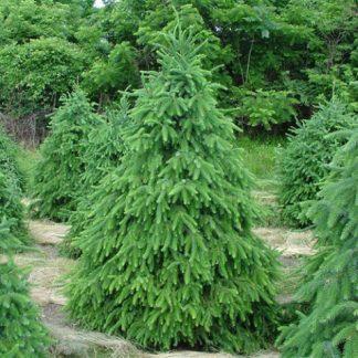 Ялина сербська Picea omorika