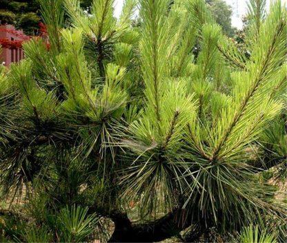 Сосна Массона Pinus massoniana