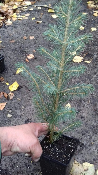 Ель голубая Каибаб Picea glauca Kaibab Цена за 100 саженцев