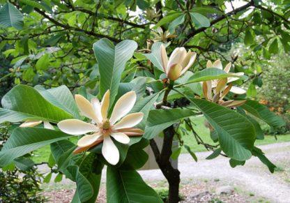 Магнолия лекарственная Magnolia officinalis цена за 25грамм