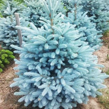 Ялина блакитна преміум сорту Маджестік BLUE SPRUCE MAJESTIC