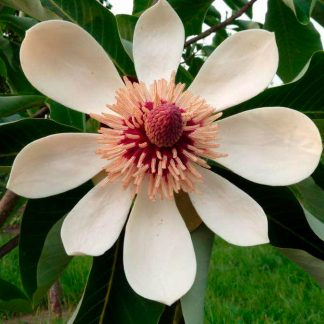 Магнолия обратнояйцевидная Magnolia obovata Thunb. цена за 25 грамм