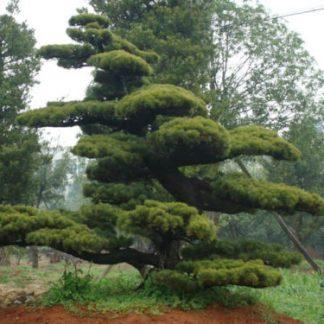 Сосна  Тунберга Pinus thunbergii ціна за 10 саджанців
