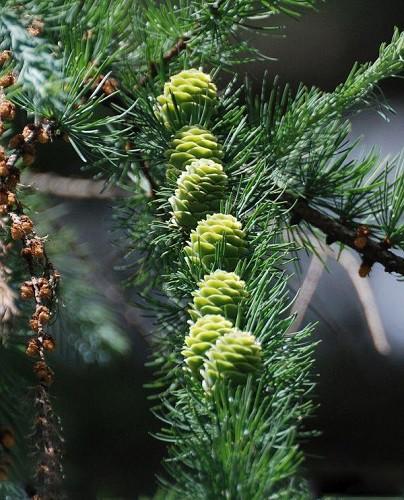 Лжелиственница золотистая Pseudolarix Amabilis цена за 25 грамм