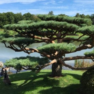 Новинка 2020г.! Сосна японская красная (Сосна густоцветковая) Pinus densiflora цена за 25 грамм