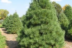 Новинка 2020 г.!Сосна румелийская Pinus peuce цена за 25 грамм