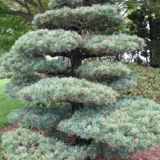Новинка 2020г.! Сосна белая японская (Сосна мелкоцветковая) Pinus parviflora цена за 25 грамм