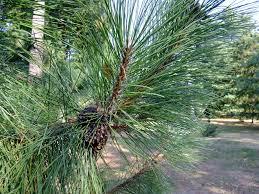Сосна густая Pinus densata цена за 100 саженцев!