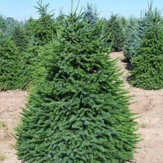 Ель европейская Picea abies Цена за 100 шт