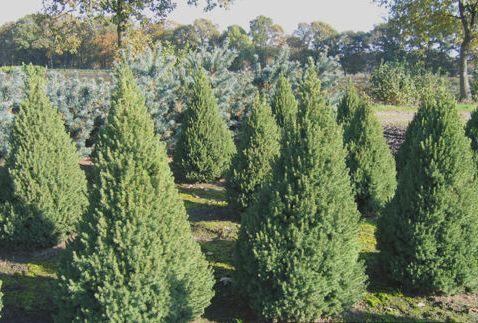 Ель канадская Коника Picea Conica цена за 100 штук