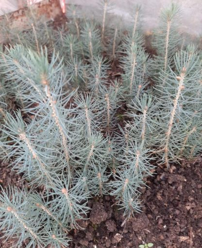 NEW! Голубая ель Меера  Picea spruce meyeri