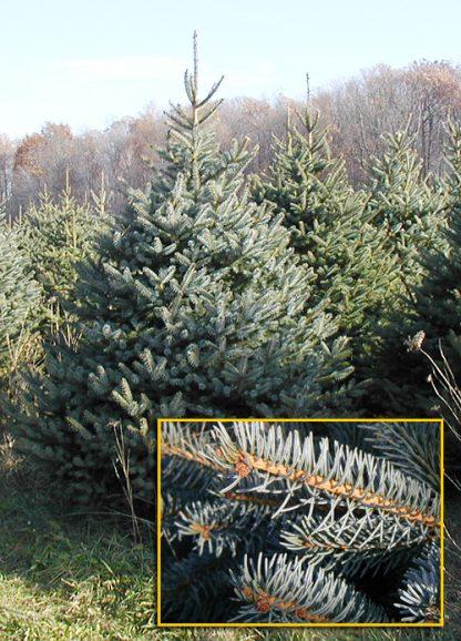 Всего 5 кг в наличии! Цена за 1 кг.семян!  Голубая ель Меера Picea spruce meyeri