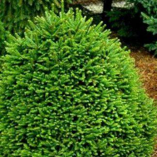 Ель «Охлендорффи» Picea abies 'Ohlendorffii' Цена за 100шт