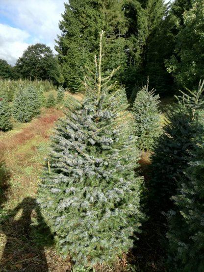 Ель сербская Picea omorika Цена за 100 шт