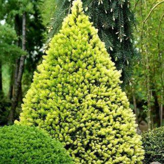 Только в этом сезоне! Ель канадская Рэйнбоуз Энд Picea glauca Rainbows End Цена за 100 шт