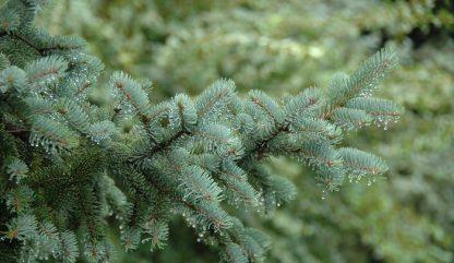 Ялина Вільсона Picea wilsonii v. Watsoniana