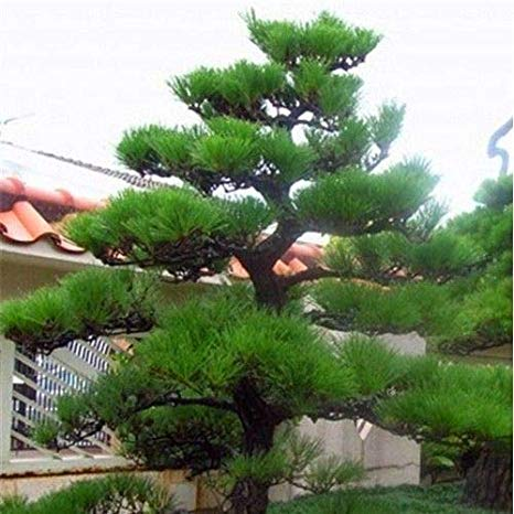 Forum «Pinus Сосни 2020»