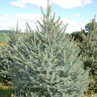 Блакитна ялина Меєра Picea spruce meyeri