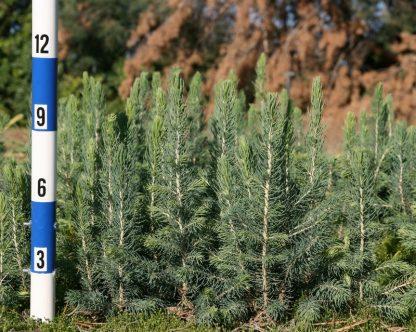 Ель колючая голубая Санта Фе Picea pungens Santa Fe цена за 100 саженцев