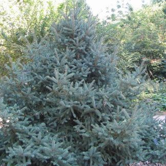 Ель шероховатая(Ель драконова) Picea asperata Dragon Spruce Цена за 100 шт