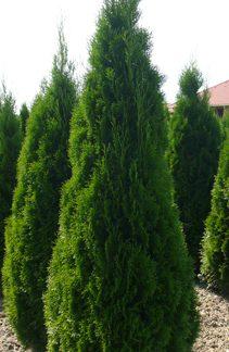 Туя западная Смарагд Thuja occidentalis 'Smaragd Цена за 100 шт