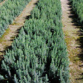 Ель колючая Апач Picea pungens Apache Цена за 100 шт