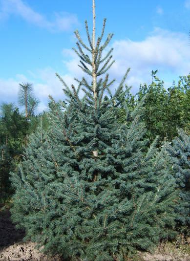 Ель Энгельмана Picea engelmannii Engelm  Цена за 100 шт