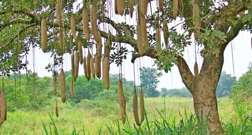 10 малоизвестных деревьев со сьедобными плодами