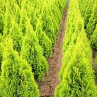 Туя западная Голден Смарагд Thuja occidentalis Golden Smaragd цена за 100 саженцев!