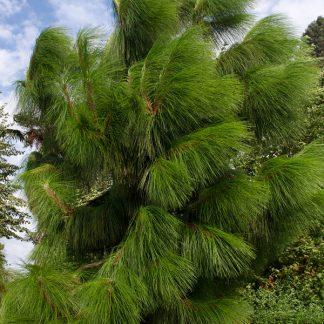 Сосна юньнаньська Pinus yunnanensis
