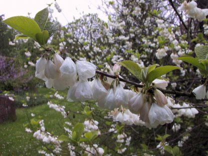 Только в этом году!  Очень редкое дерево!  Галезия каролинская Halesia caroliniana цена за 25 грамм семян