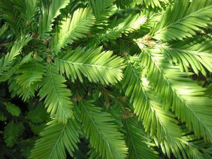 NEW 2020!Секвойя Редвуд Sequoia Sequoia sempervirens цена за 25 грамм