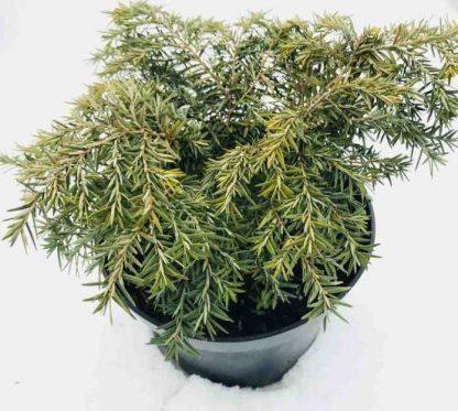Тсуга канадская Tsuga canadensis цена за горшок 1л