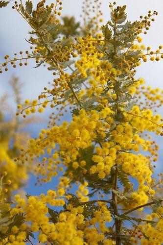 Мімоза (акація срібна)   Acacia dealbata