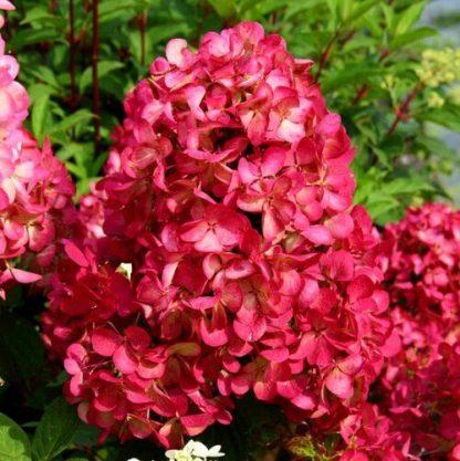 "Гортензія метельчата «Даймонд Руж» Hydrangea paniculata `Diamant Rouge"""