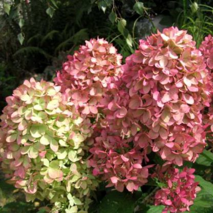 Гортензія метельчата Мейджик Кендл Hydrangea paniculata Magical Candle