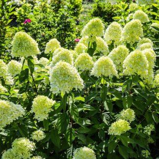 Гортензія метельчата Лаймлайт Hydrangea paniculata `Limelight`