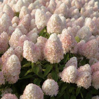 Гортензія метельчата Hydrangea paniculata `Magical Sweet Summer`