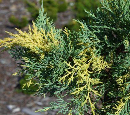 Можжевельник средний 'Блю энд голд' Juniperus media 'Blue and Gold' цена за 10 саженцев