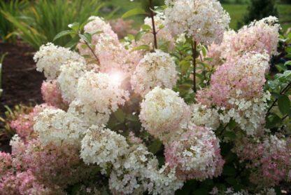 Гортензія метельчата Бобо  Hydrangea paniculata Bobo