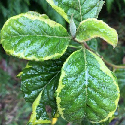 Гелезія варієгатна( конвалієве дерево) Halesia carolina variegata monticola