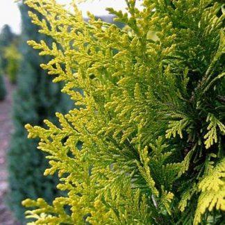 Кипарисовик Лавсона Golden Wonder Chamaecyparis lawsoniana Golden Wonder